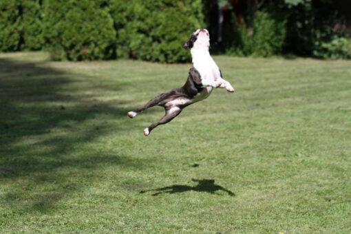Bono on taitava hyppääjä 21.7.2014