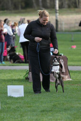 """Bono esittelemässä Rally-tokoa, jota kuvailtiin """"vauhdikkaaksi koirien tottelevaisuuslajiksi"""". Vauhtia ainakin piisasi :)"""